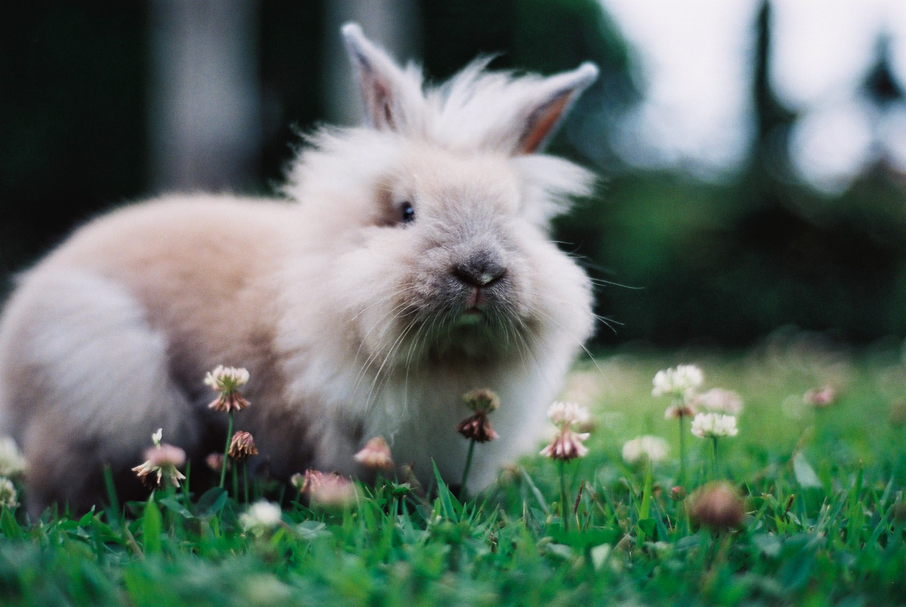 Lionhead Bunny Exhibits Disapproval