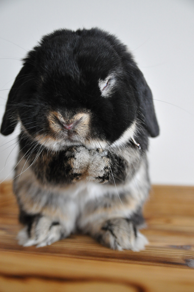 Otter-Colored Bunny Washes Face