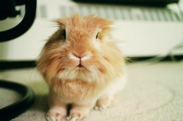 Cute Lionhead is Cute