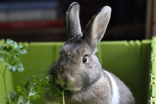 Bunny Noms Parsley in Her Matching Green Box