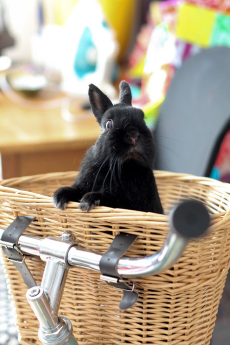 Daredevil Bunny Says What Do You Mean I Can't Ride in Here?! I Want to Feel the Wind between My Ears!