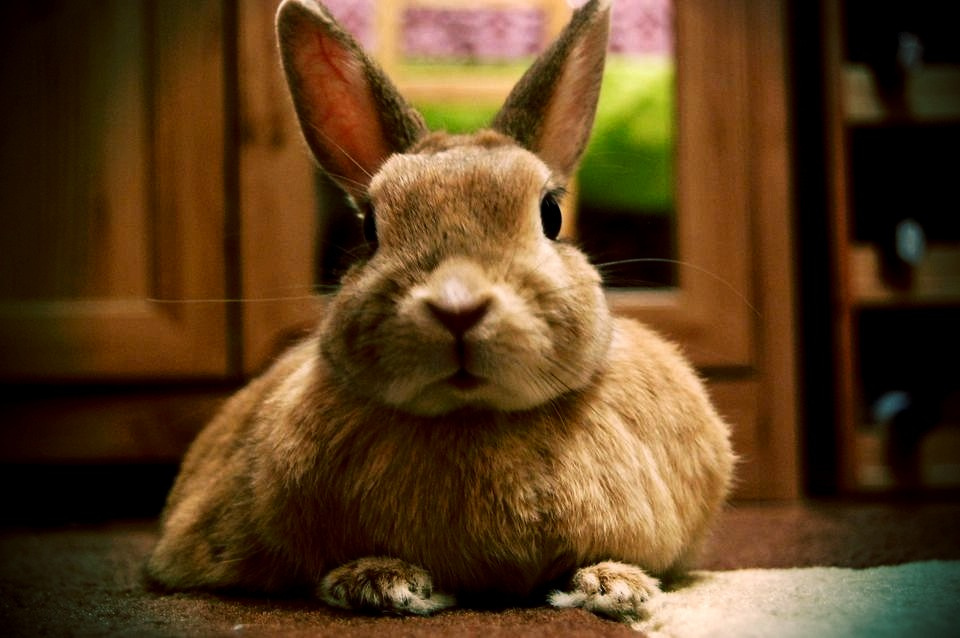 Bow Before Bunny Who Is Queen of Her Carpet Kingdom