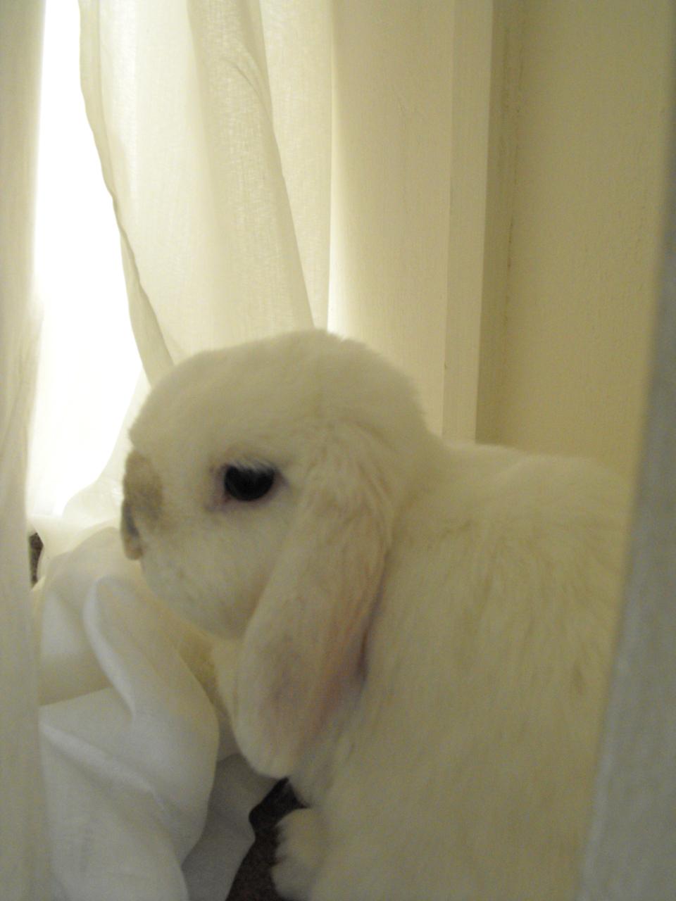 Bunny Gazes Wistfully Out the Window