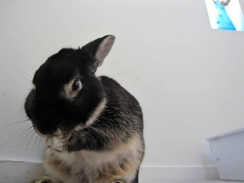 Secretly Devious Bunny Says Of Course I'm Not Scheming - I'm Just Cleaning My Ear!