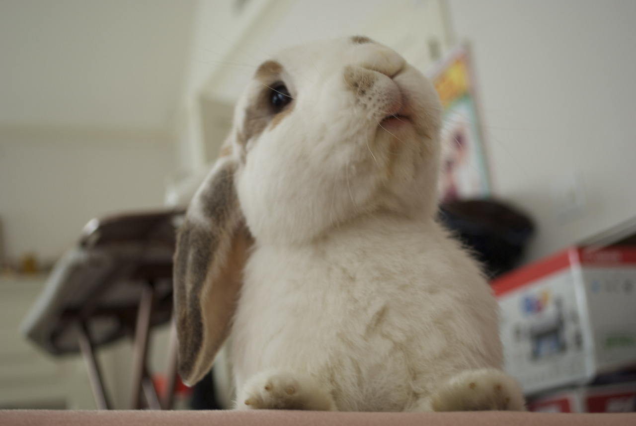 King Bunny Will Deign to Let You Approach