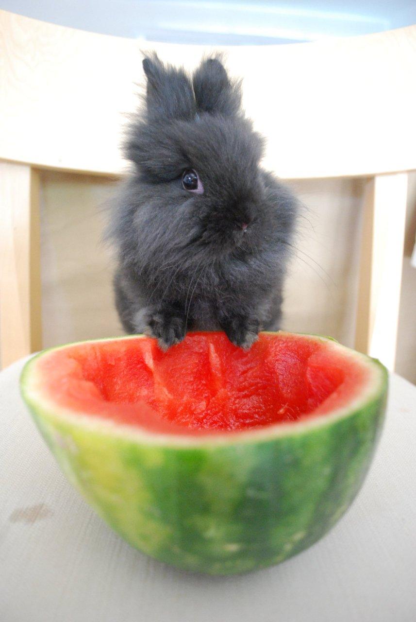 Bunny Enjoys Some Fresh Watermelon
