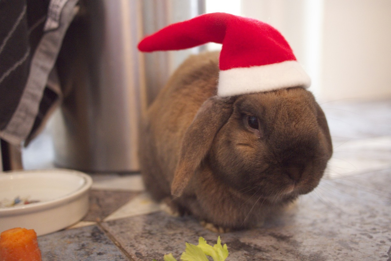 Hoomins Leave Carrots and Greens for Santa Bunny