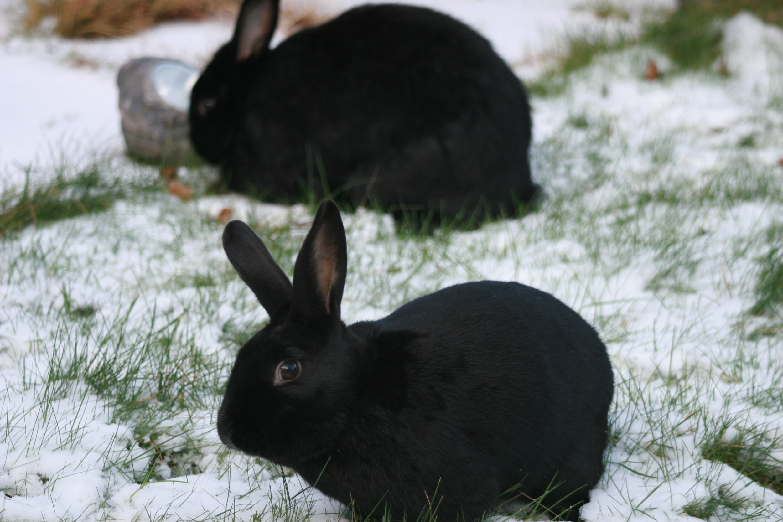 Bunnies Explore the Snowy Yard