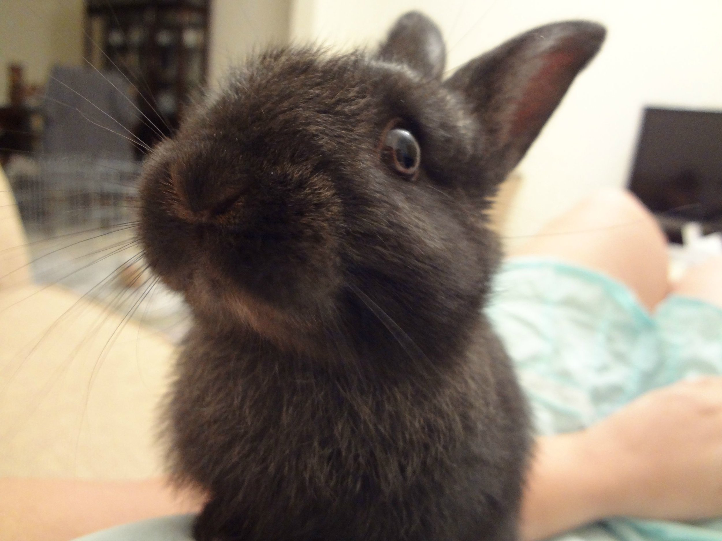 Bunny Inquiringly Looks at Owner for a Treat