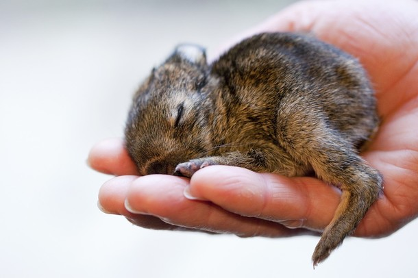 Rabbit Foundling Ruediger Sleeps on Keeper's Hand 2