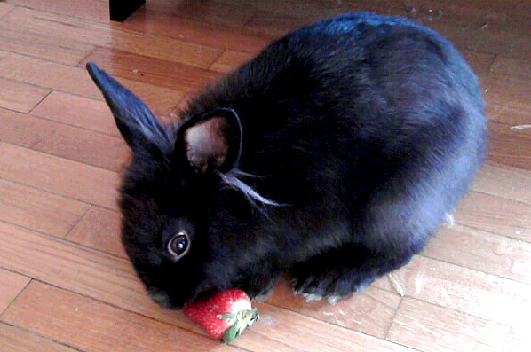 Bunny Noms a Strawberry