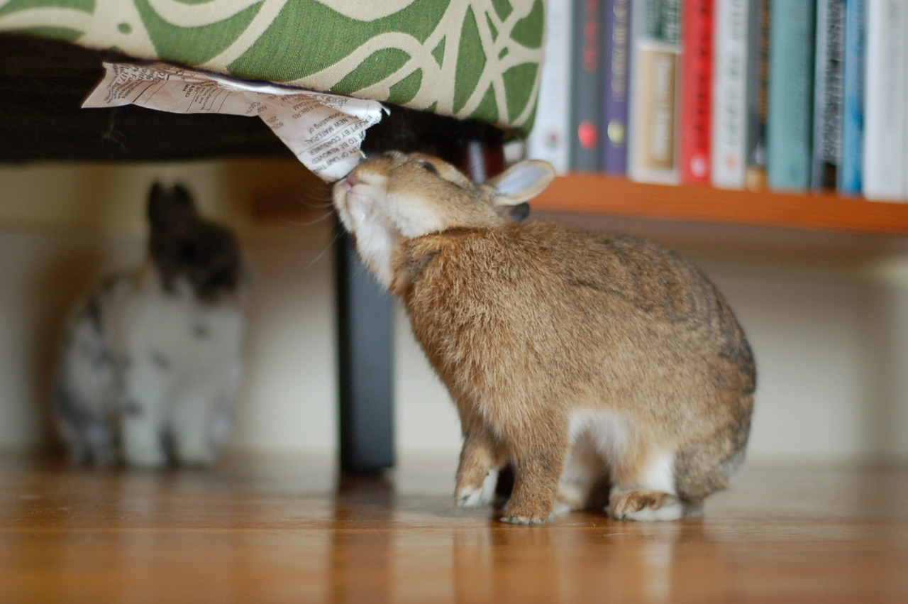 Bunny Is Champion of Finding Things to Nom