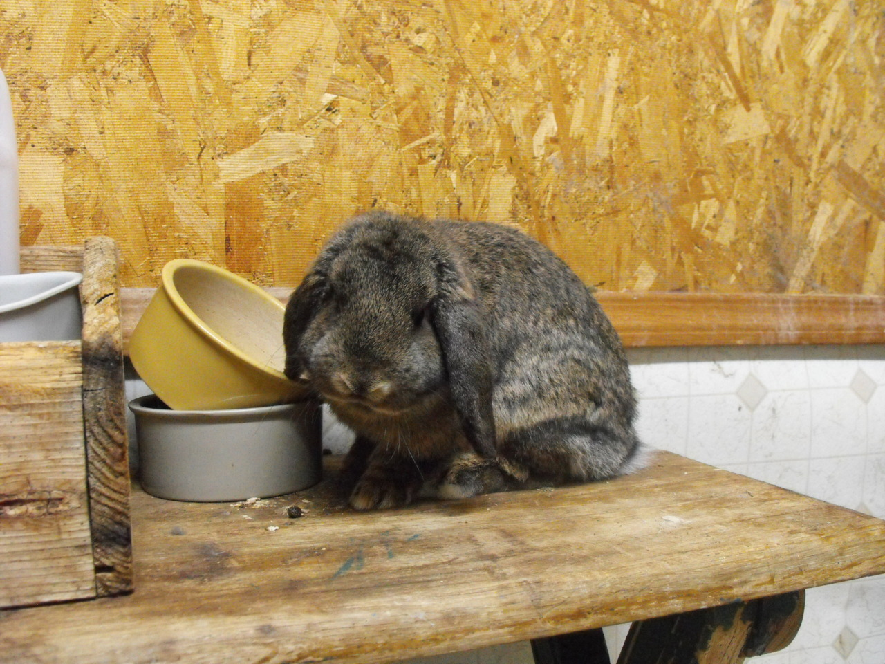 Bunny Will Pout Until There Is Food in Her Bowl