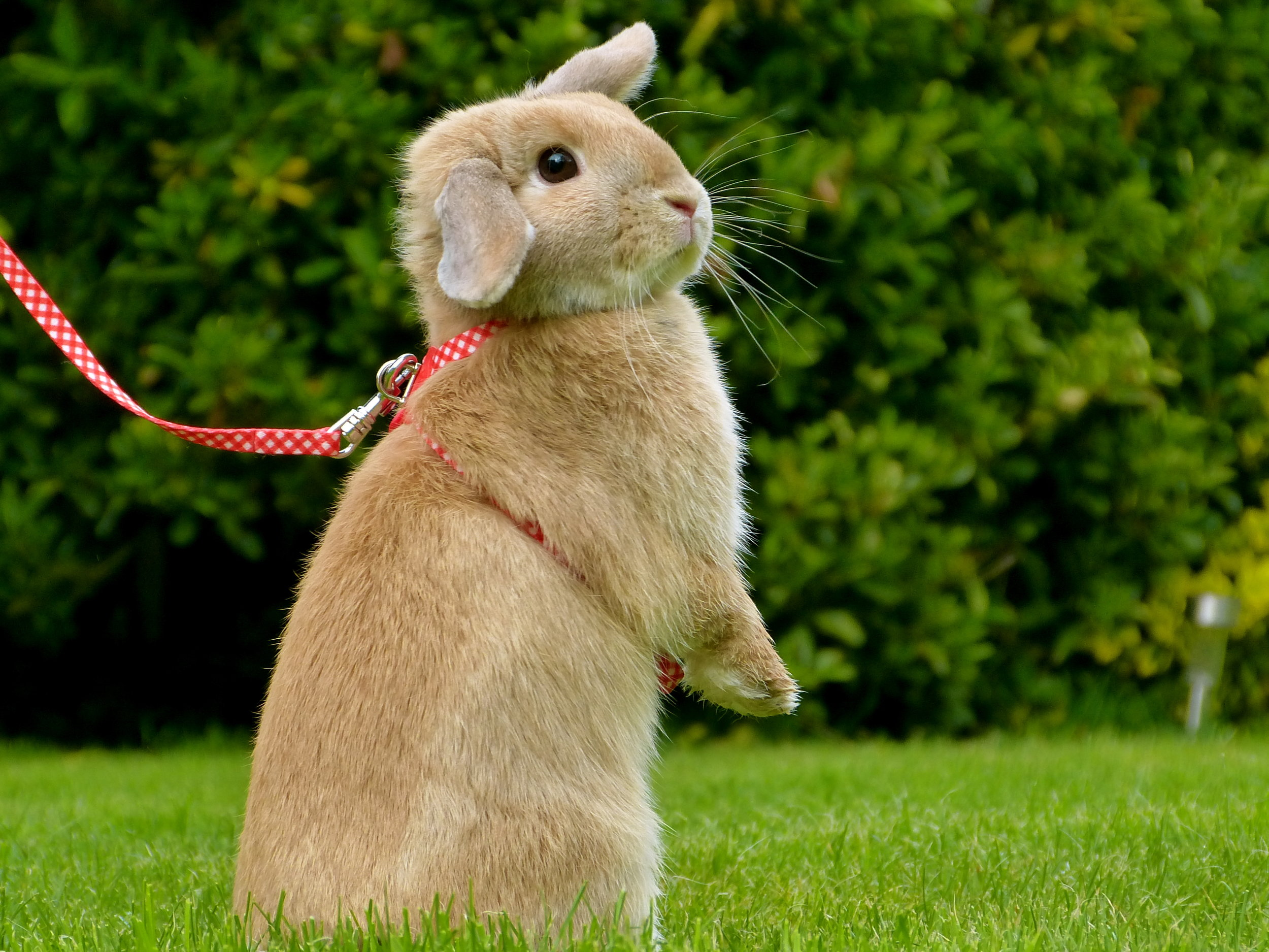 Bunny Stands to Get a Better View of the Yard