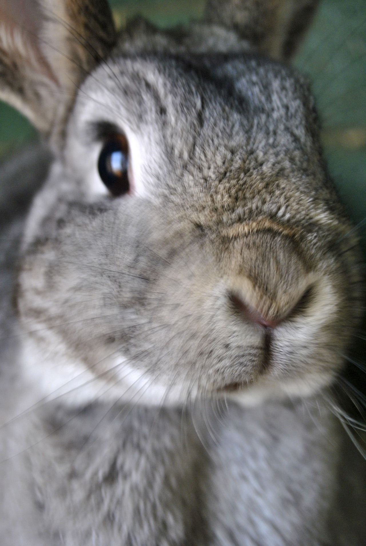 Bunny's Nose Moves Too Quickly for the Camera