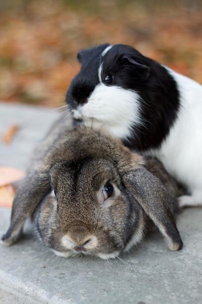 Patient Bunny Guinea Pig-Sits 1
