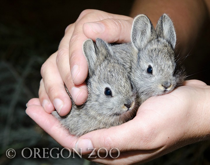 Oregon Zoo Releases Pygmy Rabbits into the Wild 2
