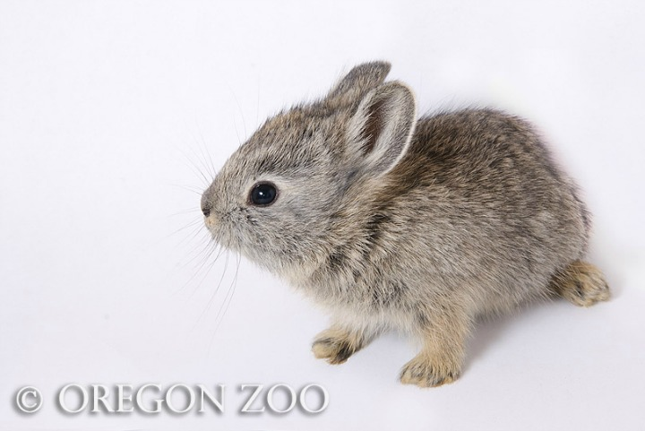 Oregon Zoo Releases Pygmy Rabbits into the Wild 3