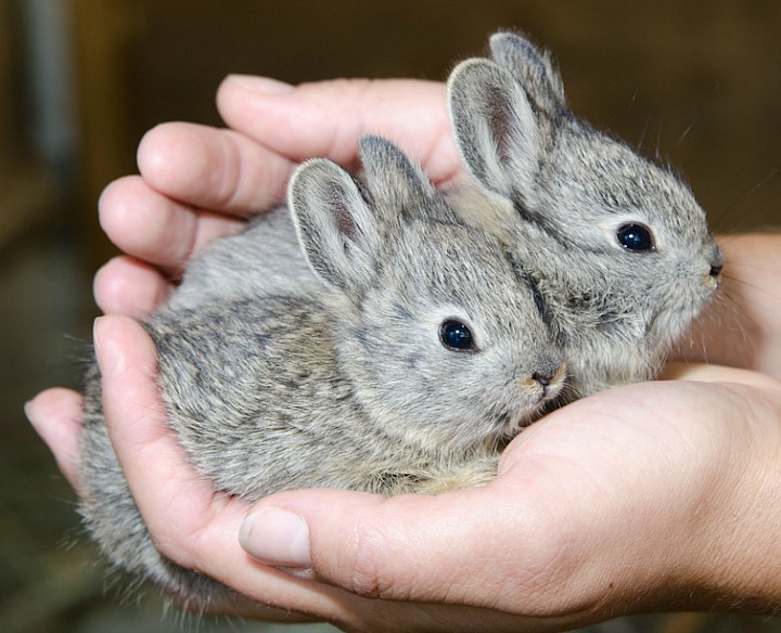 Oregon Zoo Releases Pygmy Rabbits into the Wild 4