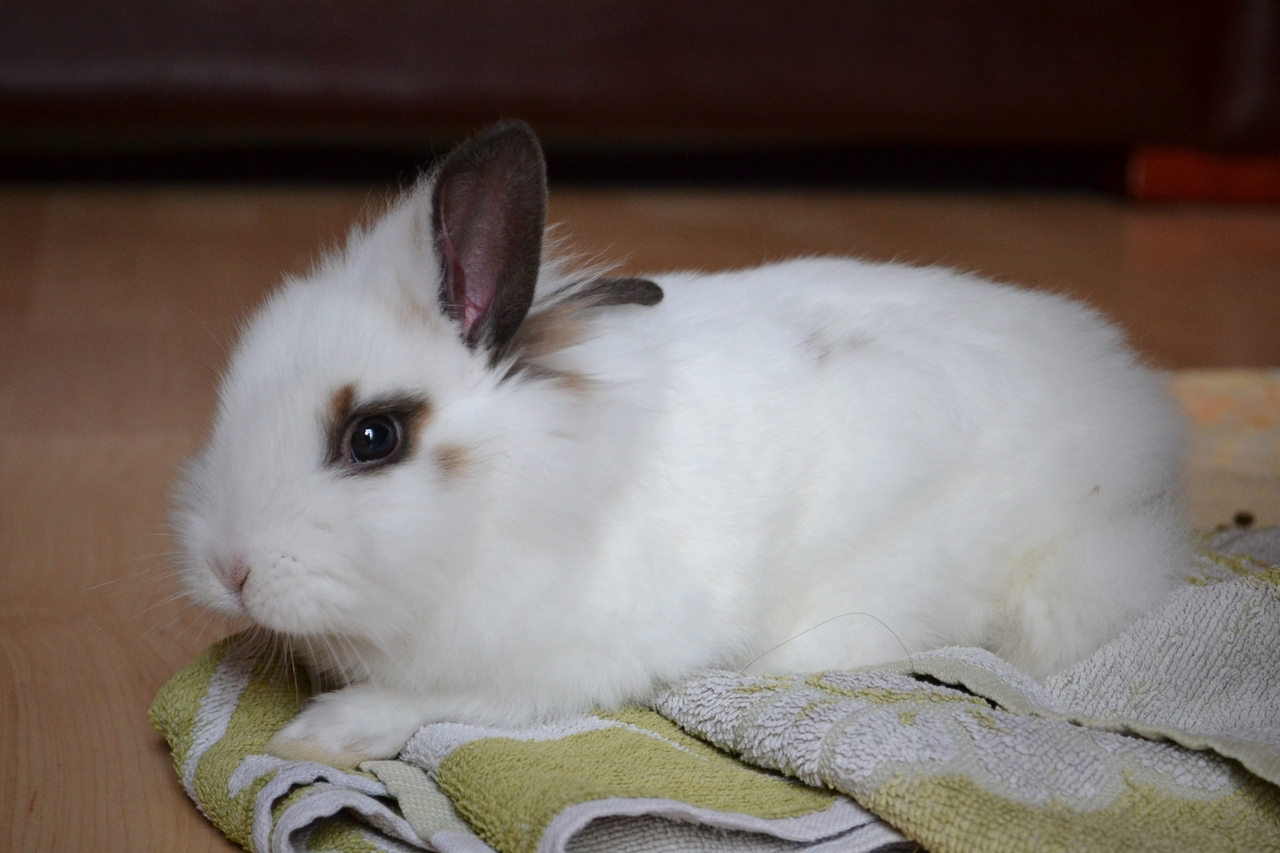 Hoomin's Towel Is Now Bunny's Cozy Nap-Spot