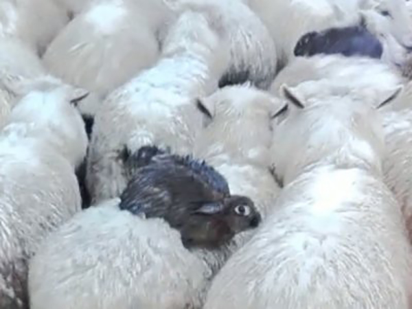 Wild Rabbits Hitch a Ride on Their Sheep Friends to Escape a Flood 2