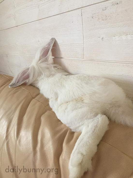 Bunny Sprawls Out on the Back of the Sofa
