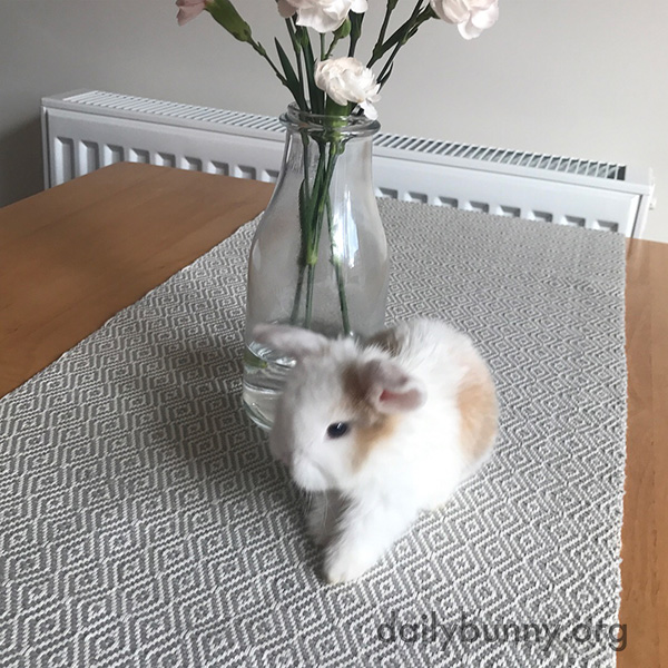 Tiny Bunny Looks Even Tinier on the Kitchen Table 3