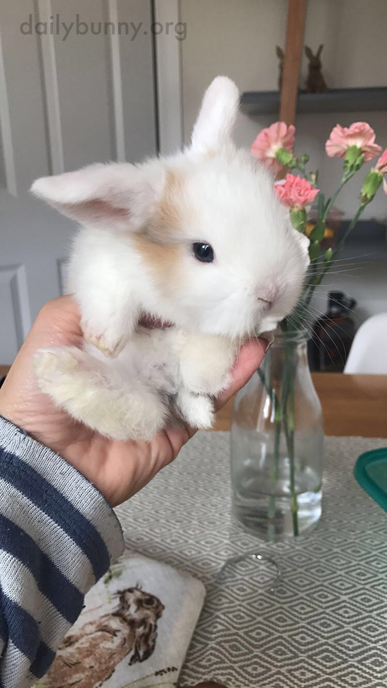 Tiny Bunny Looks Even Tinier on the Kitchen Table 4
