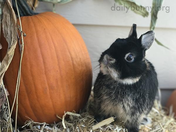 That Pumpkin Is Twice as Big as You, Bunny!