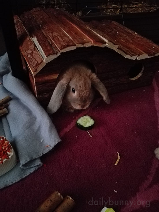 Bunny Will Come Out of Her Play House for a Bit of Veg