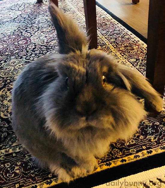 Bunny Looks So Hopeful Human Might Have a Treat