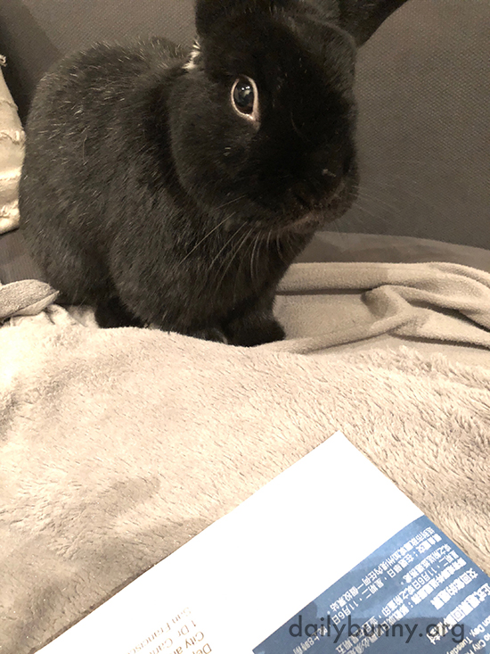 Bunny Makes Sure Human Voted for All the Pro-Bunny Ballot Measures
