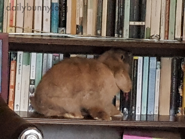 Bunny Is Excited Human Left Books on an Accessible Shelf