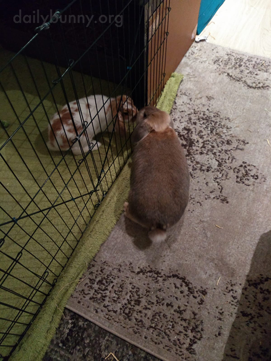 Soon-to-Be-Besties Bunnies Give Each Other a Sniff Through the Fence