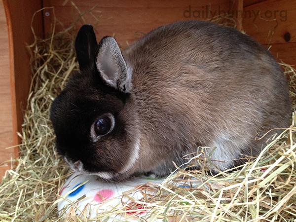 Bunny Has a Cushion Hidden Under Her Hay
