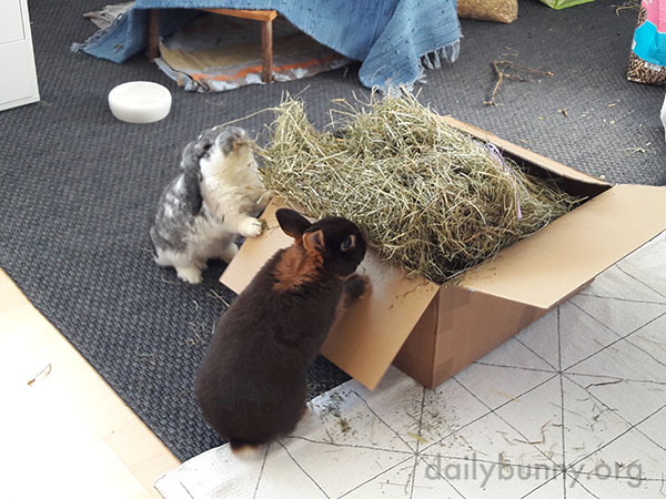 Bunnies Are About to Put the All-You-Can-Eat Policy to the Test