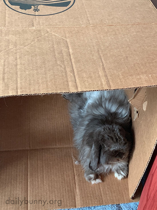 A Box Provides Endless Lounging Options for a Bunny 3