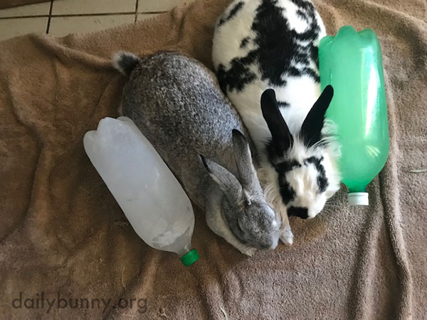 Bunnies Team Up to Cool Down 1