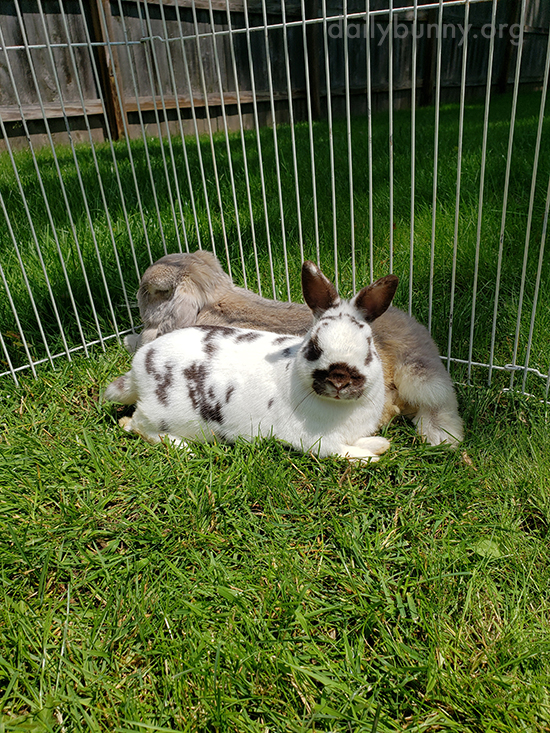 By Lying This Way Bunnies Can Supervise the Whole Yard