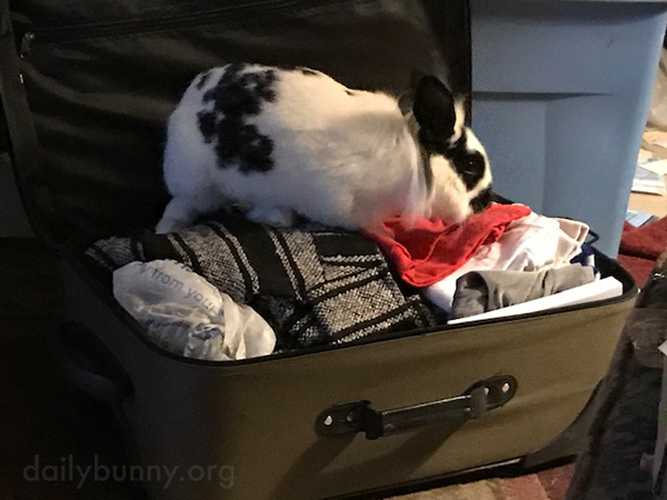 Bunny Helps Tamp Down the Suitcase Contents So There's Room for Human to Bring Back Treats