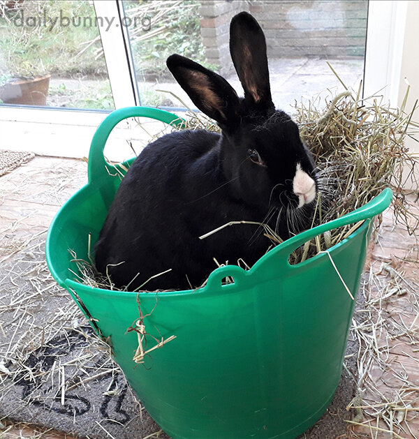 Bunny Is Just Too Hungry to Wait for Human to Finish Distributing the Hay