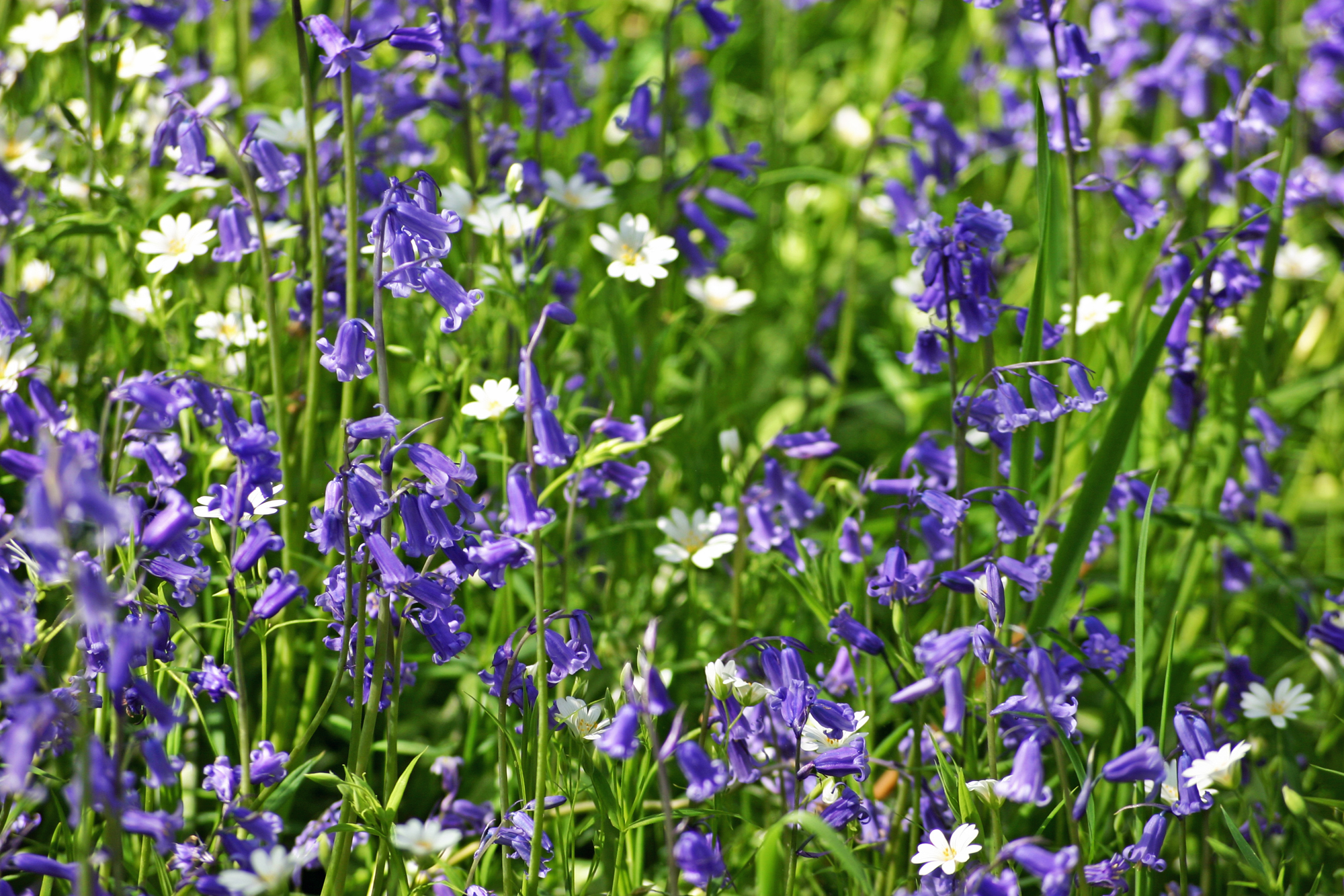 Bluebells and White Campion at Drovers Retreat