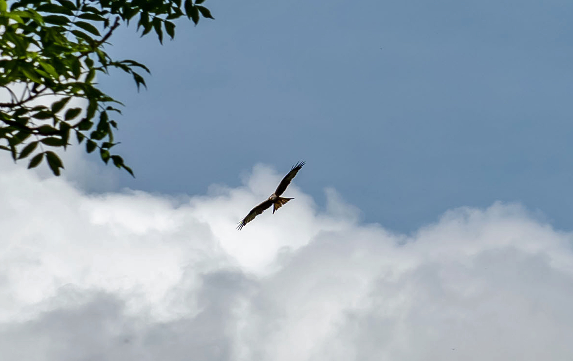 Red Kite over Drovers Retreat