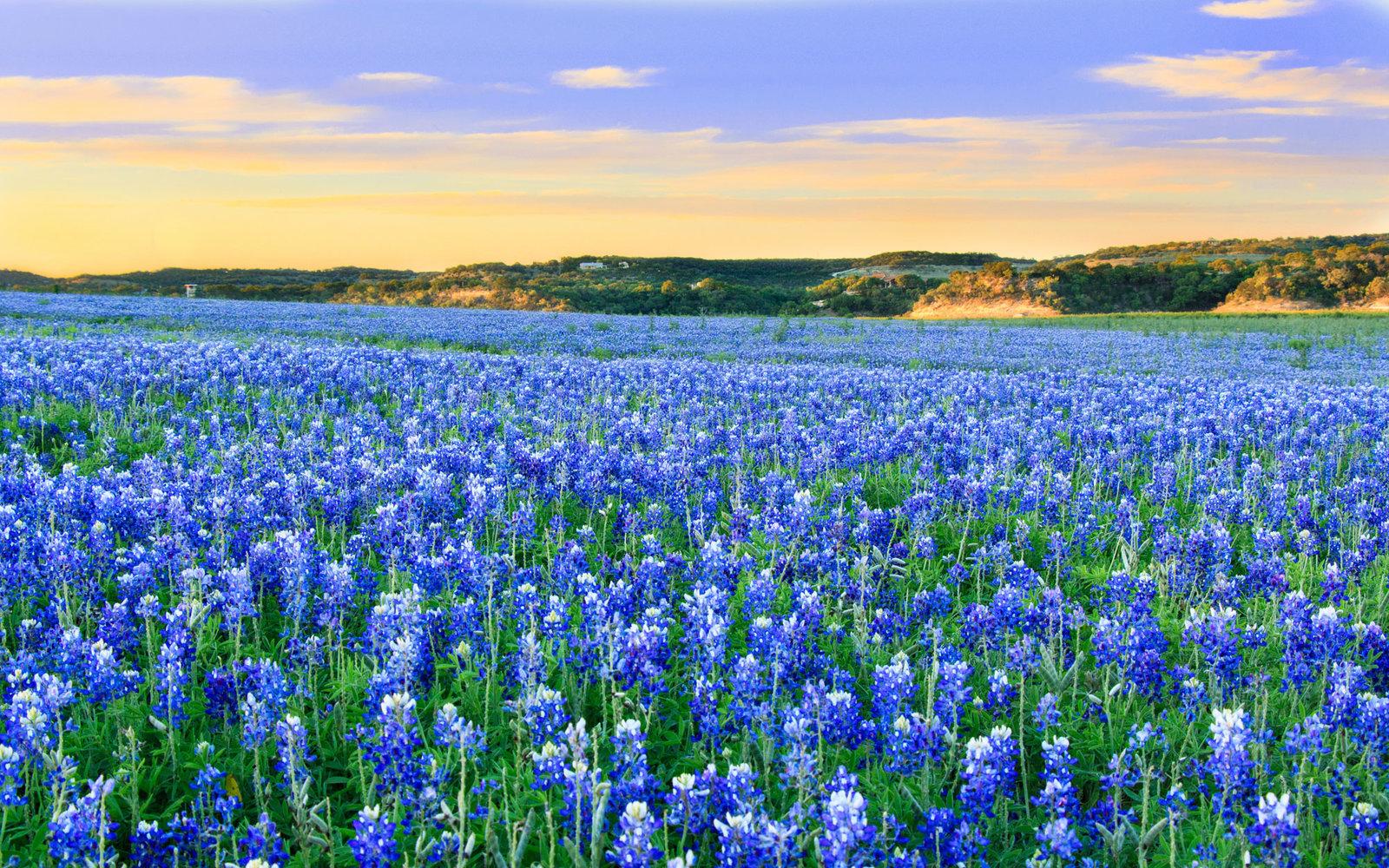 Texas-Bluebonnets-Spring-15-TXBLOOMS0316.jpg