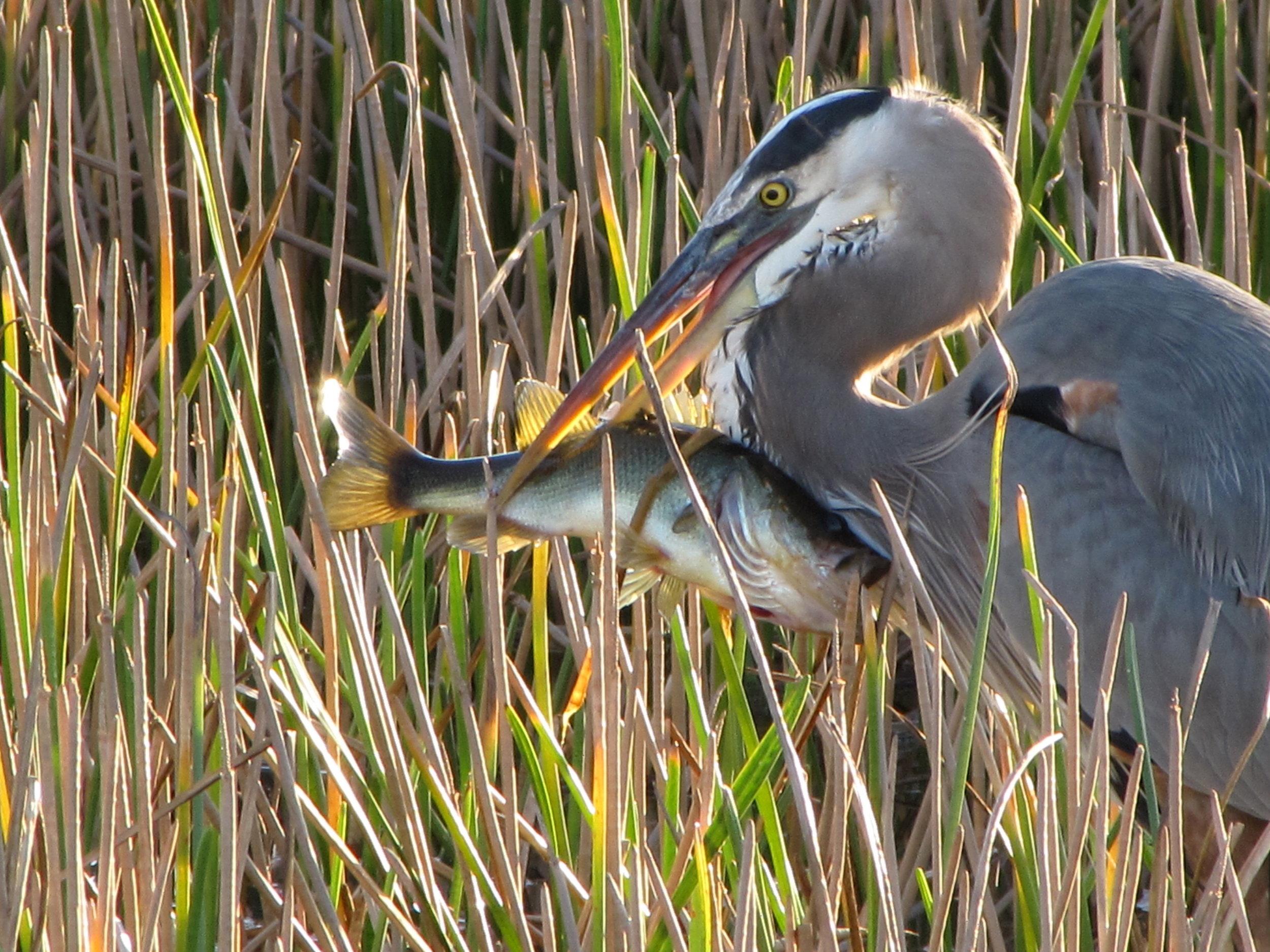 heron with fish 1113 2.jpg