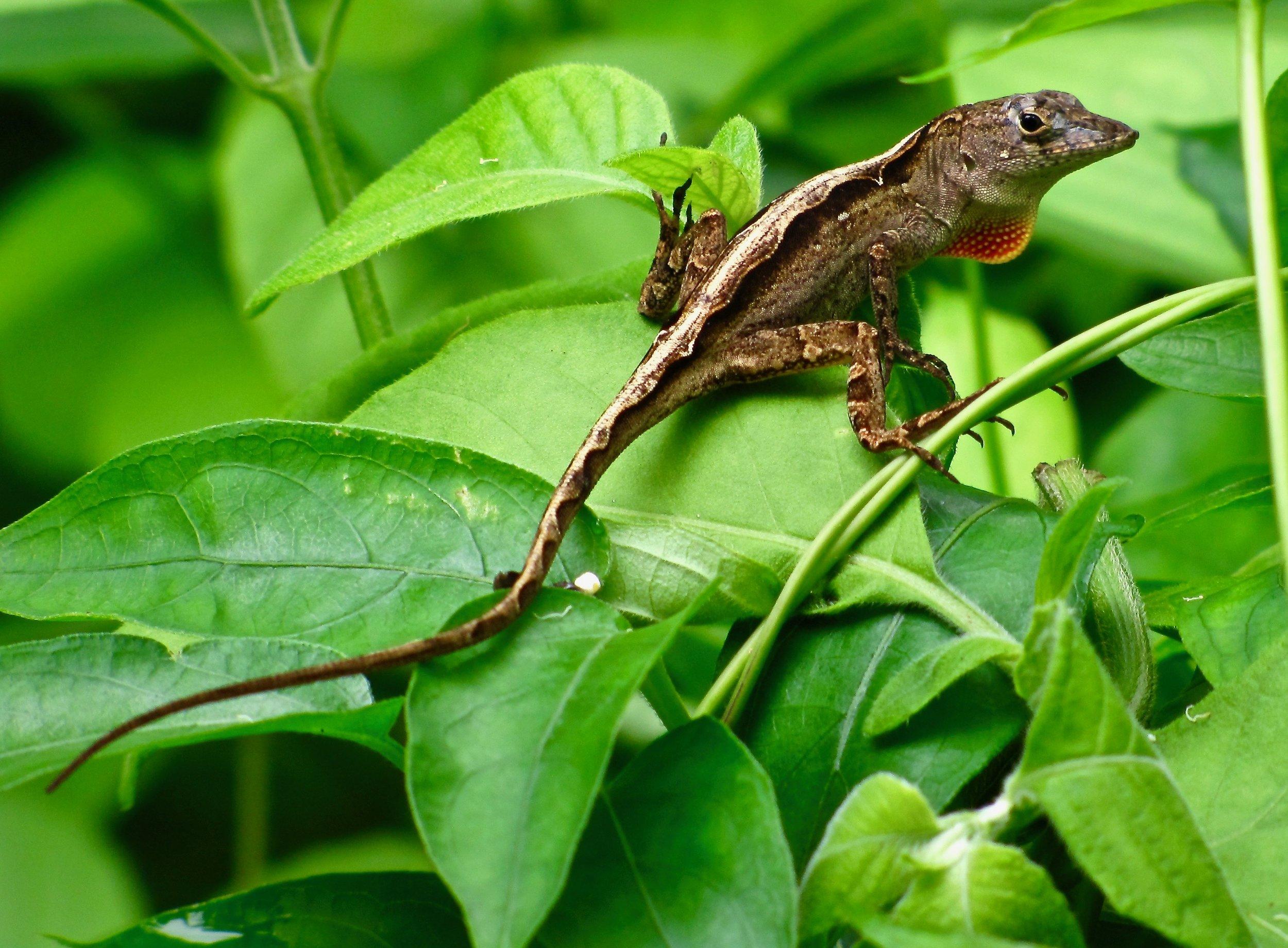 lizard on leaves 2.jpg