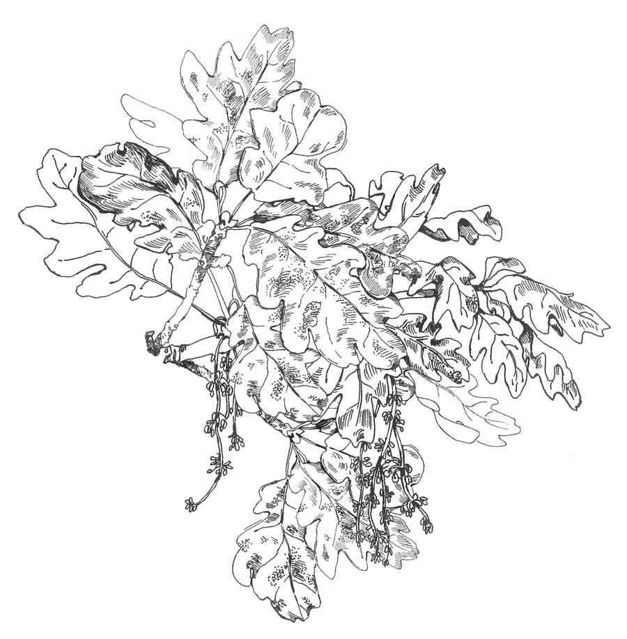 mountain-laurel-(1).png