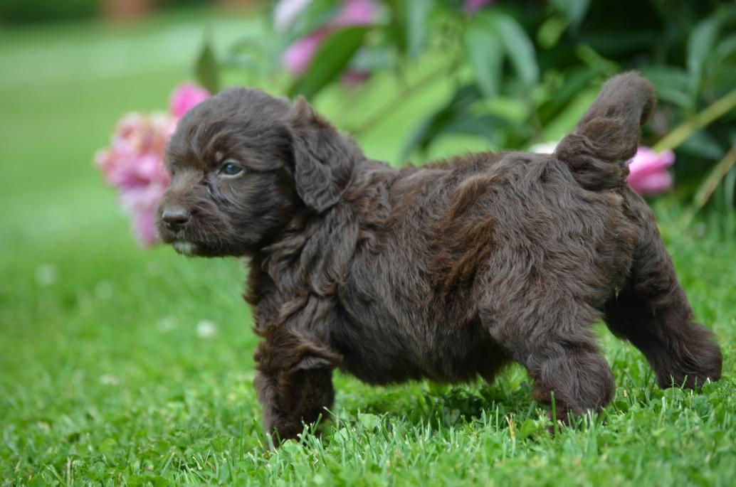 Crockett Doodles - Family Raised Doodle Puppies for Sale