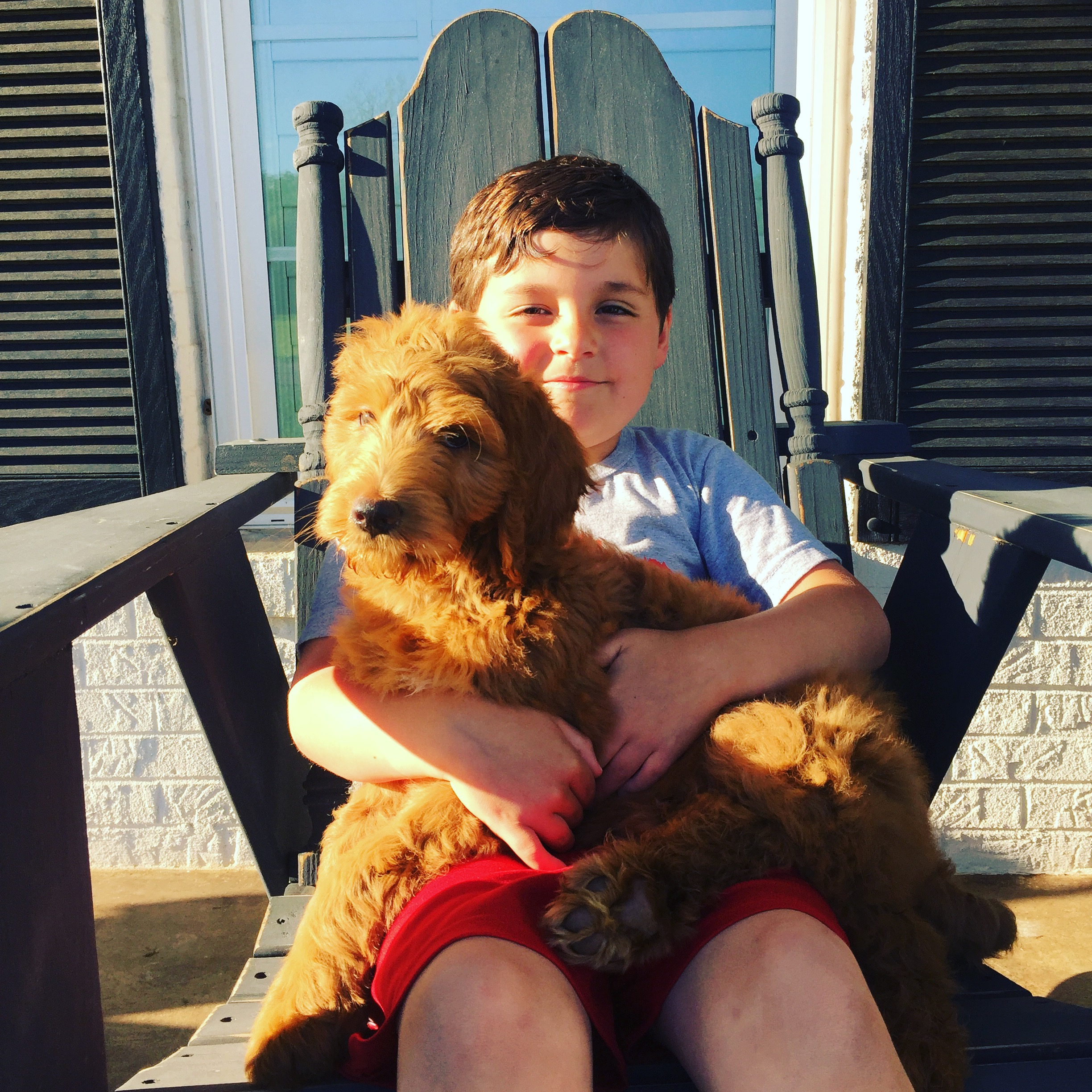 red-Labradoodle