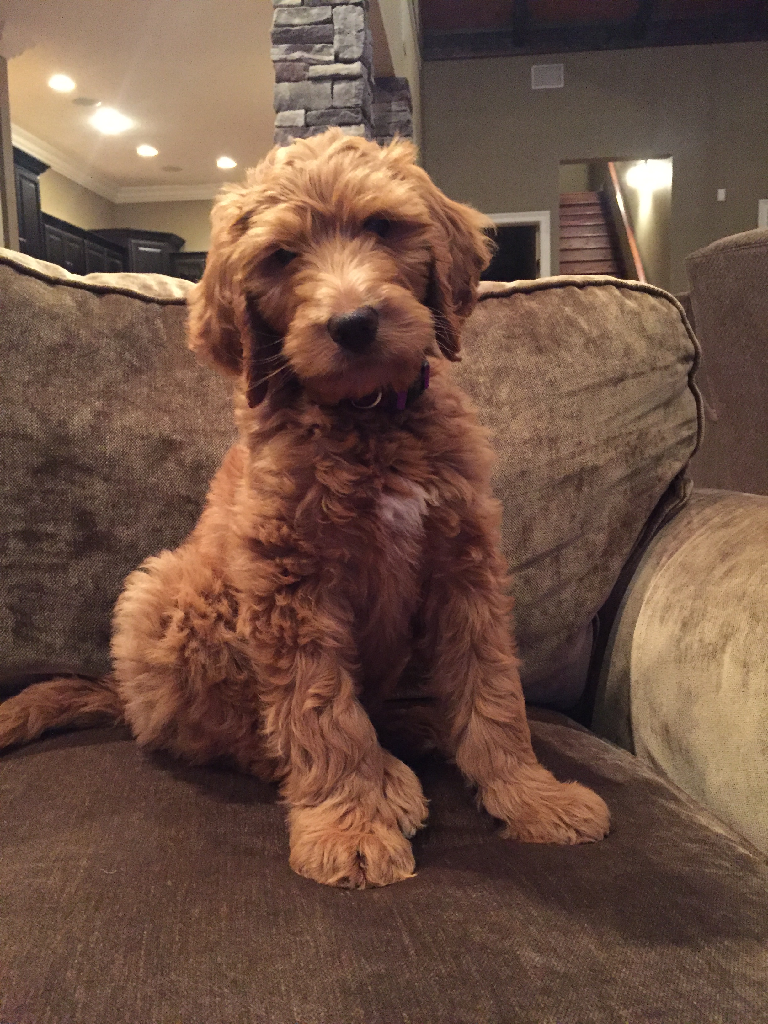 red-medium-labradoodle